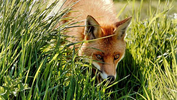 Fox with red colouring looks through long green grass