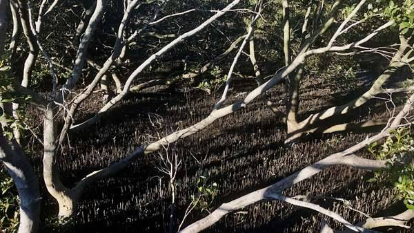 Mangroves at Woolooware Bay on the Georges River