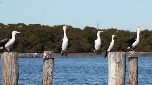 Pied Cormorants on the Georges River