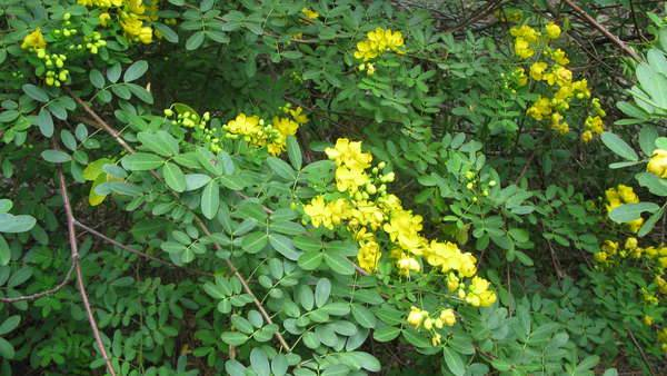 Senna pendula is a green weed that can grow to be as large as a tree, pictured here in bloom with yellow flowers.