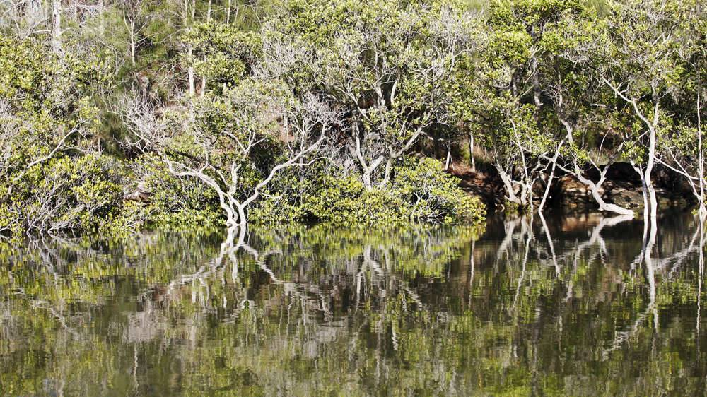 Georges river - Mangroves