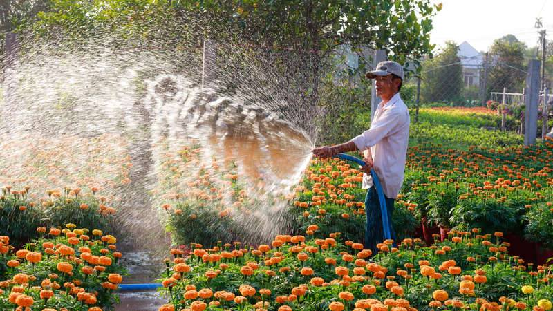 Male gardener using a hose to water orange flowers